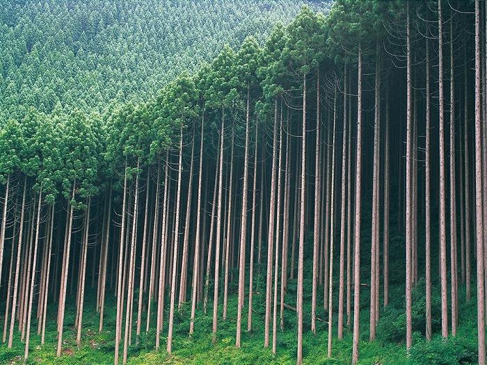 私たちが見なれている杉の人工林(日田杉) このように多種類の樹木が混成しているのが自然林本来の姿